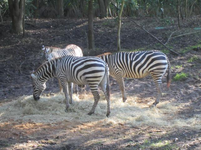 The zebras were present this time.