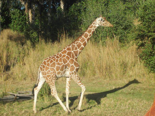 One giraffe.