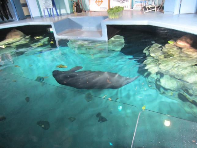 The manatees were very active that morning.